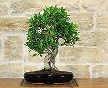 Retusa Ficus bonsai tree (76)