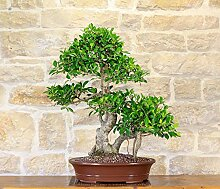 Retusa Ficus bonsai tree (77)