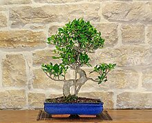 Retusa Ficus bonsai tree (83)