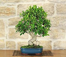 Retusa Ficus bonsai tree (84)