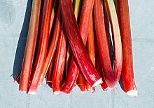 Rhababer Pflanze - mild, süß - Rheum rhabarbarum Red Campagne - 50-60cm 2 Ltr.