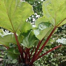 Rhabarber Canada Red - 1 Pflanze - Rheum