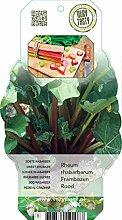 Rhabarber (Rheum rhabarbarum), im ca. 12cm Topf,