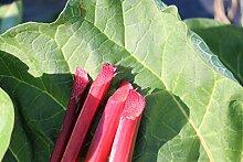 Rhabarber Siruparber Canada Red® - im 5lt -Topf