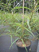 Rhamnus frangula Asplenifolia -