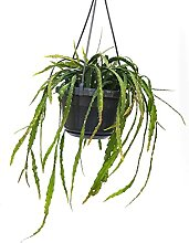 RHIPSALIS LEPISMIUM CRUCIFORM BASKET, echte Pflanze