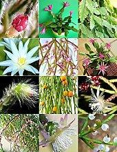 Rhipsalis MIX selten Nacht blühende Pflanze