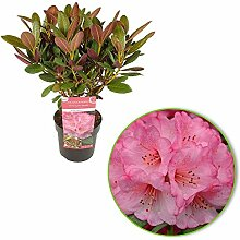 "Rhododendron""Wine & Roses"" 
