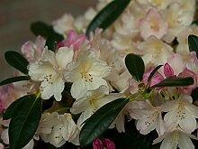 Rhododendron. 2 Liter weiß/cremeweiß. 1 Pflanze - zu dem Artikel bekommen Sie gratis ein Paar Handschuhe für die Gartenarbeit dazu