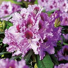 Rhododendron 'Kabarett®'