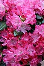 Rhododendron `Anuschka´ - INKARHO®-Pflanze Größe 80-er Stamm, 10-L-Topf