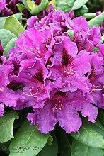 Rhododendron `Azurro´ - INKARHO® -Pflanze Größe 5-L-Topf, 30-40 cm Pflanzenhöhe