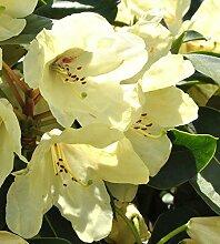 Rhododendron `Bellini´ - INKARHO®-Pflanze Größe 5-L-Topf