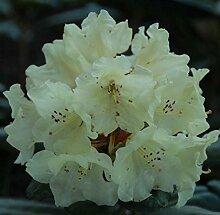 Rhododendron Bohlkens Laura® 40-50cm - Alpenrose