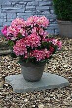 Rhododendron `Brasilia´ - INKARHO® -Pflanze Größe 5-L-Topf