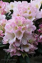 Rhododendron `Brigitte´ - INKARHO® -Pflanze Größe 5-L-Topf