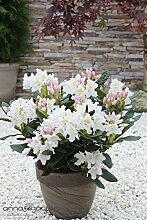 Rhododendron `Cunningham's White´ - INKARHO® -Pflanze Größe 5-L-Topf