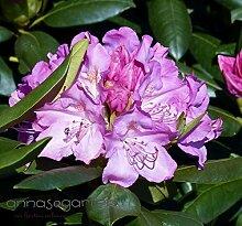 Rhododendron `English Roseum´ - INKARHO® - Pflanze Größe 5-L-Topf
