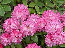 Rhododendron `Fantastica´ - kalktolerante INKARHO®-Pflanze Größe 80-er Stamm, 10-L-Topf