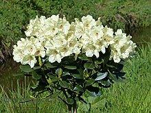 Rhododendron `Flava´ - INKARHO® - Pflanze Größe 40-50 cm Pflanzenhöhe