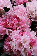 Rhododendron `Heinjes Zauberflöte´ - INKARHO®- Pflanze Größe 80-er Stamm, 10-L-Topf