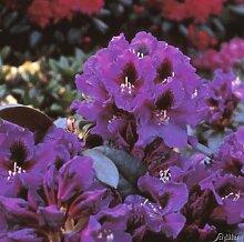 Rhododendron Hybride Azurro