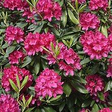 Rhododendron in Sorten im Topf/Container Größe