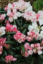 Rhododendron `Koichiro Wada´ / `FCC´ - INKARHO®-Pflanze Größe 60-er Stamm, 15-L-Topf