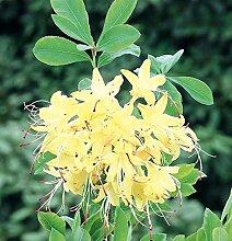 Rhododendron viscosum Rhododendron Westton Sparkler 40-50cm