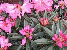 Rhododendron luteum Balzac - Sommergrüne Azalee