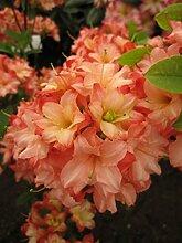 Rhododendron mixtum 'Rosenköpfchen' -