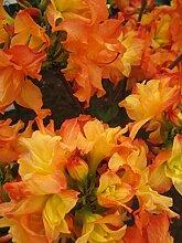 Rhododendron mixtum Feuerköpfchen - sommergrüne