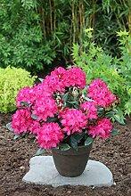 Rhododendron `Nova Zembla´ - INKARHO®-Pflanze Größe 5-L-Topf , 30-40 cm Pflanzenhöhe