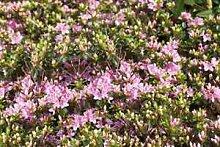 Rhododendron obt. 'Kermesina Rose'