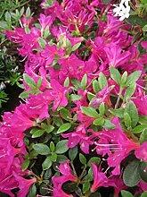 Rhododendron obtusum 'Geisha Lila' -