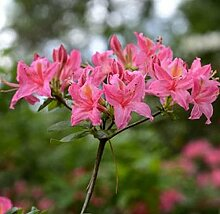 Rhododendron Pennsylvania 60-80cm - Rhododendron