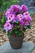 Rhododendron `Pfauenauge´ ® - INKARHO®-Pflanze Größe 5-L-Topf