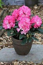 Rhododendron `Polaris´- INKARHO®-Pflanze Größe 80-er Stamm, 10-L-Topf