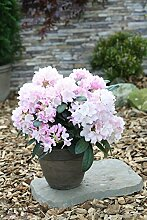 Rhododendron `Schneekrone´ - kalktolerante INKARHO®-Pflanze Größe 4-L-Topf