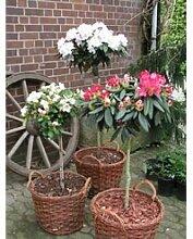 Rhododendron-Stamm lila 1 Pflanze
