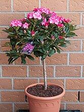 Rhododendron-Stamm lila blühend. 1 Pflanze