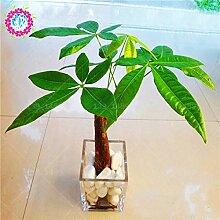 Rich 1pcsbag Rare Chinese pachira macrocarpa Samen