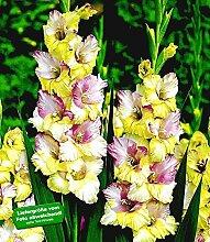 Riesen-Gladiole Mon Amour,25 Stück Gladiolus
