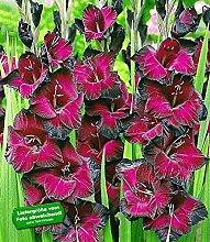 Riesen-Gladiole Schönheit der Nacht,15 Stück