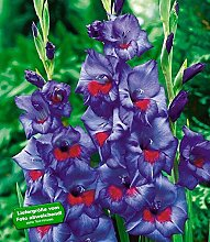 Riesen-Gladiole Zigeunerbaron,25 Stück Gladiolus