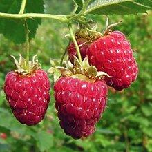 Riesen Himbeere / die größten der Welt / ca. 50 Samen / Rubus idaeus / frosthart / mehrjährig / sehr gesund / vitaminreich