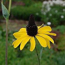 Riesen Sonnenhut - Rudbeckia maxima