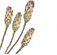 RiloStore 15 STK Protea PINK Natur Exoten