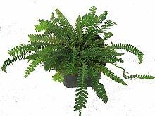 Rippenfarn - Blechnum spicant - als Kübelpflanze