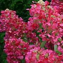 Rispenhortensie Diamant Rouge weiß-erdbeerrot -